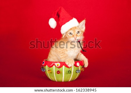 Christmas La Perm kitten sitting in festive bowl with santa cap hat on red background