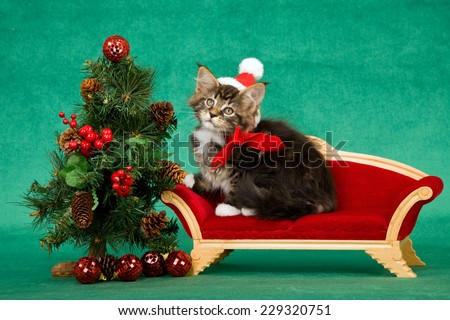 Christmas Maine Coon kitten wearing Santa cap sitting on miniature red couch sofa chair next to miniature Christmas tree on green background  - stock photo