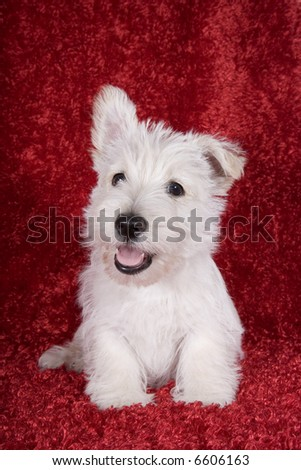 Christmas or Valentines day white Scottish Terrier pup on red background