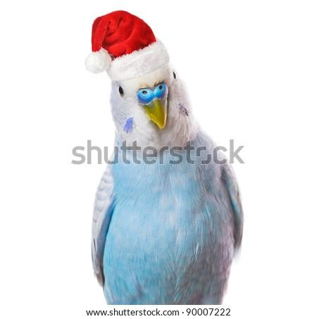 Christmas parrot - stock photo