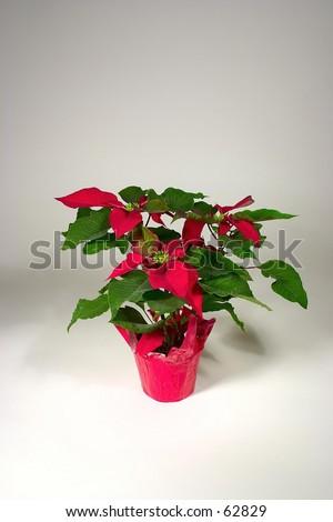 Christmas Poinsettia - stock photo