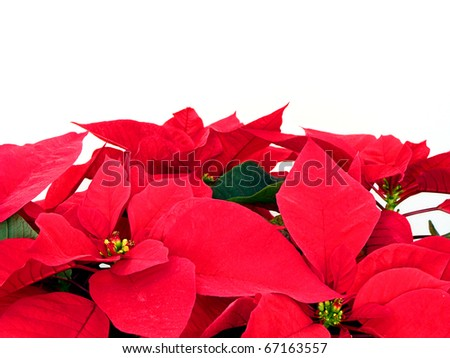 Christmas poinsettia border on a white background