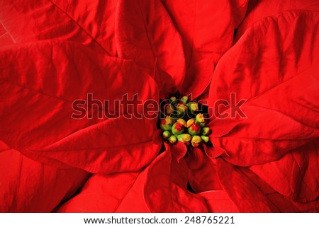 Christmas Poinsettia Flower Plant close up photo
