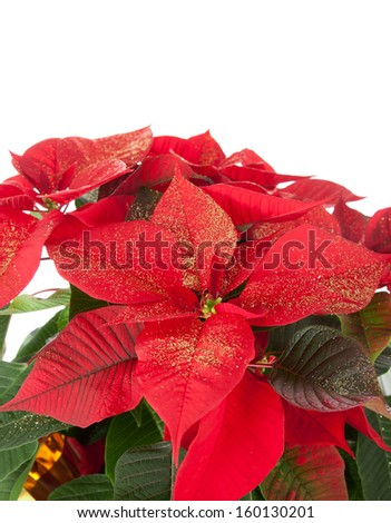 Christmas poinsettia isolated on white background with studio lighting