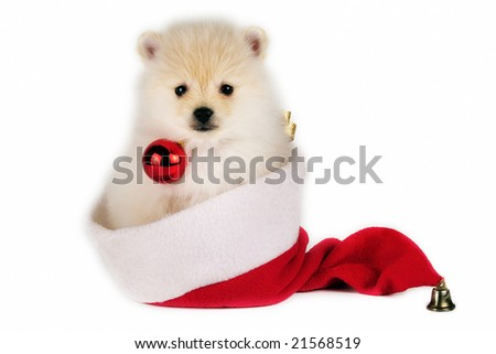 Christmas Pomeranian puppy with a Santa hat on white background. - stock photo