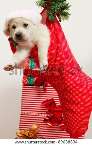 Christmas present - Cute labrador puppy in a Christmas sock - stock photo