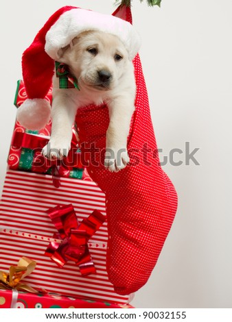 Christmas present - Cute labrador puppy in a Christmas sock - stock photo