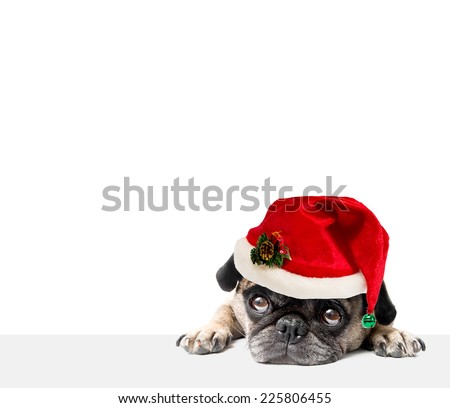 Christmas Pug with a Santa Hat, White Background - stock photo