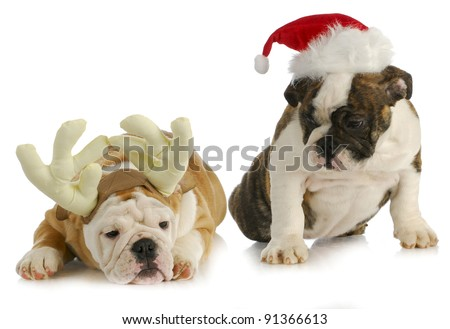 christmas puppies - two bulldog puppies dress like reindeer and santa on white background - stock photo