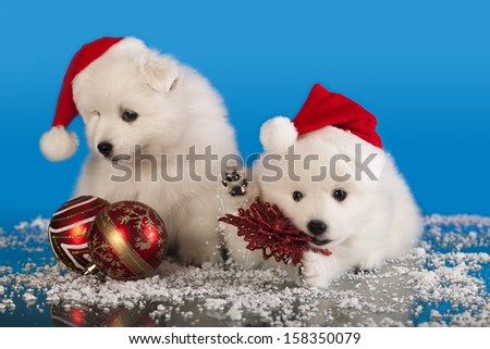 christmas  puppies white Pomeranian  Spitz wearing a santa hat - stock photo