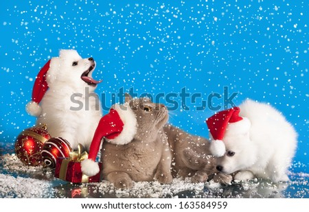 christmas puppies white Spitz wearing a santa hat and cat - stock photo