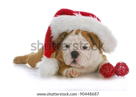 christmas puppy - adorable english bulldog puppy wearing santa hat on white background - stock photo