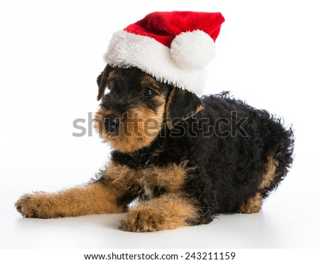 christmas puppy - airedale terrier puppy wearing santa hat laying down on white background - stock photo