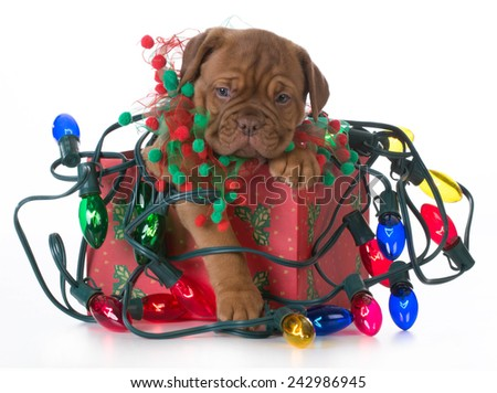 christmas puppy - dogue de bordeaux puppy in a christmas present tangled up in colorful christmas lights on white background - stock photo