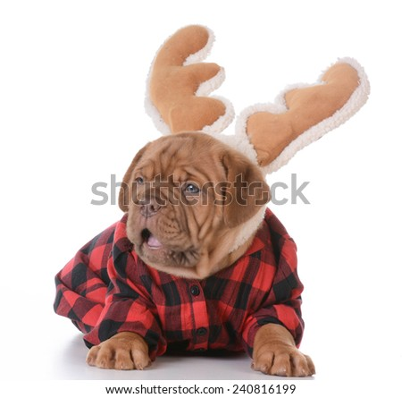 christmas puppy - dogue de bordeaux wearing rudolph antlers on white background - 5 weeks old - stock photo