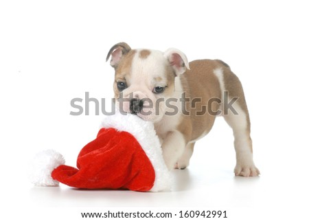 christmas puppy - english bulldog puppy carrying santa hat isolated on white background - 7 weeks old - stock photo