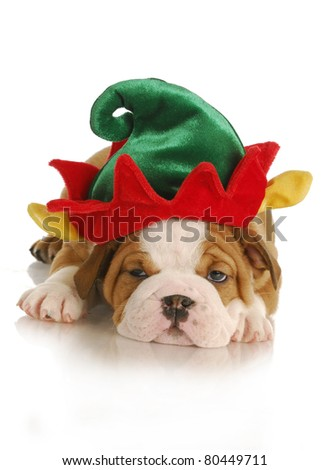 christmas puppy - english bulldog puppy dressed up like an elf on white background - stock photo