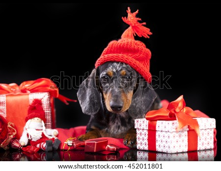 christmas puppy - miniature dachshund wearing santa and  gifts boxes with ribbons - stock photo