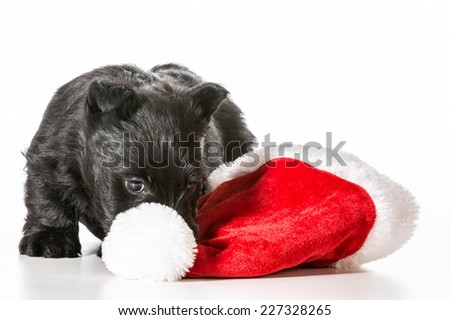 christmas puppy - scottish terrier puppy tugging on santa hat isolated on white background - stock photo