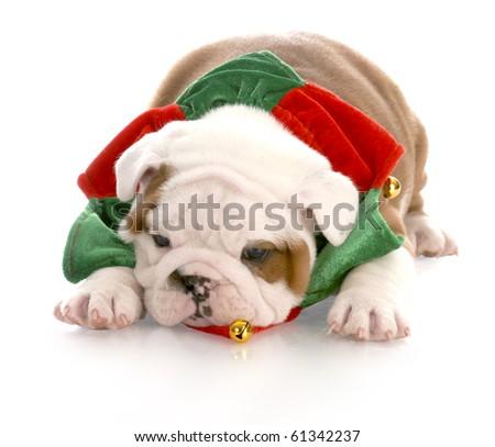 christmas puppy - seven week old english bulldog puppy - stock photo