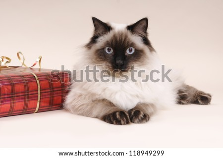 Christmas Ragdoll - stock photo