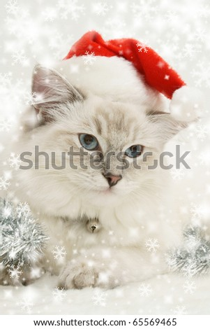 christmas ragdoll cat kitten - stock photo
