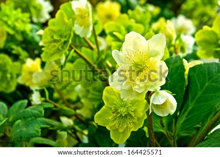 Christmas rose plant with flowers in white and green.
