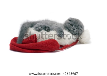 christmas scottish fold kitty laying in Santa hat - stock photo