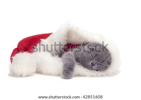 christmas scottish fold kitty laying in Santa hat - stock photo