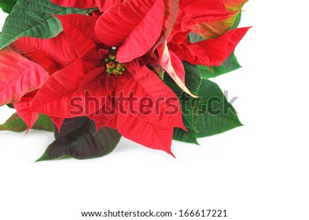 Christmas star red poinsettia flower