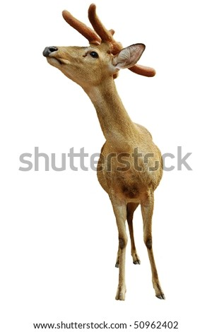 Christmas talisman.  Young deer isolated on white. - stock photo