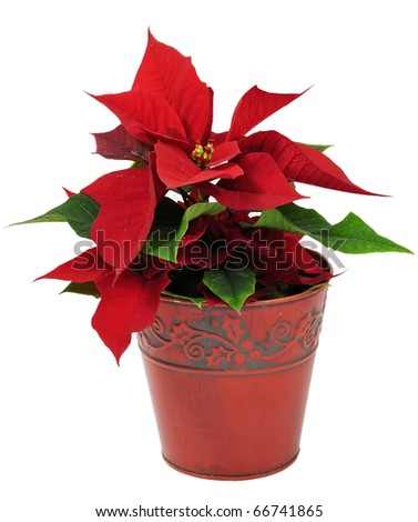 Christmas traditional flower - stock photo