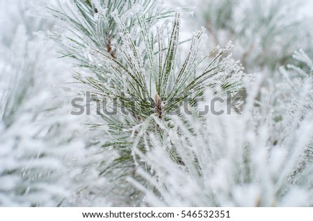Christmas tree branches covered with snow and frost. Frosty day. The concept for the New Year greeting card or background image for the winter season.