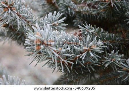 christmas tree branches frost snow