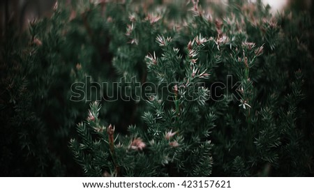 Christmas tree branches texture close up. Pine structure in details - stock photo