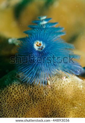 Christmas tree coral, Spirobranchus giganteus - stock photo