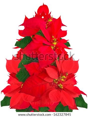 Christmas tree made of poinsettia flowers on white background - stock photo