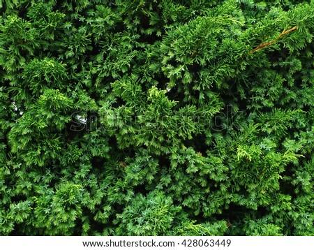 Christmas Tree or Evergreen Tree Background Texture - stock photo
