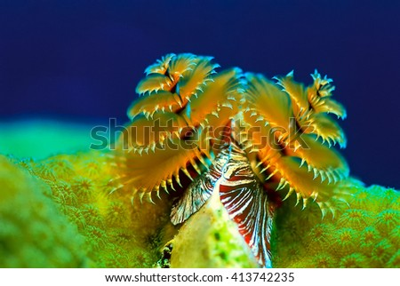 Christmas tree tube worm coral on reef - stock photo