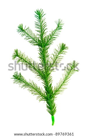 christmas tree twig isolated on a white background - stock photo