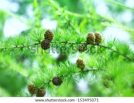 Christmas tree with pine cones (pine tree) - stock photo