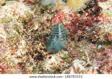 Christmas Tree Worm - stock photo