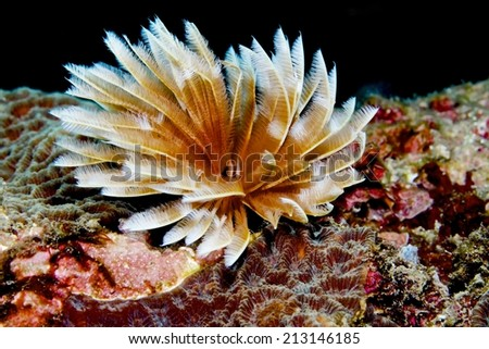 Christmas Tree Worm live on hard coral with dark background.