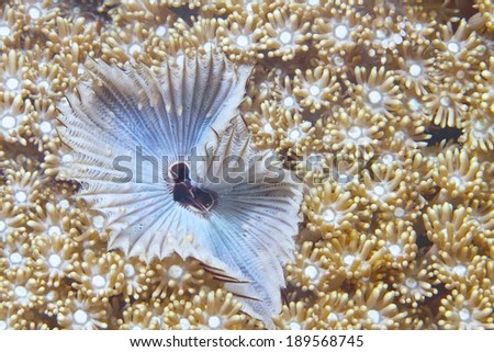 Christmas Tree Worm live with soft coral. - stock photo