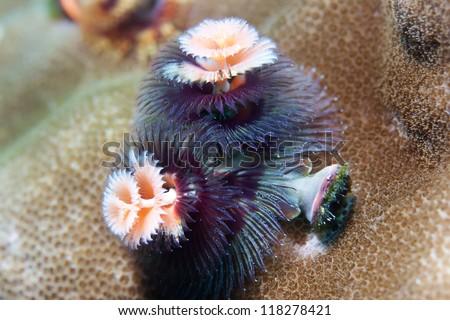 Christmas Tree Worm (Spirobranchus giganteus) - stock photo