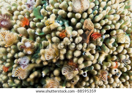 Christmas Tree Worm (Spirobranchus giganteus) colony on coral on a tropical reef off the island of Roatan, Honduras. - stock photo