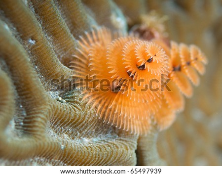 Christmas Tree Worm-Spirobranchus giganteus, growing in a calcareous tube on brain coral, picture taken in Broward County Florida. - stock photo