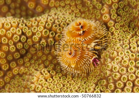 Christmas Tree Worm (Spirobranchus giganteus) projecting from coral, Bonaire, Netherlands Antilles. - stock photo