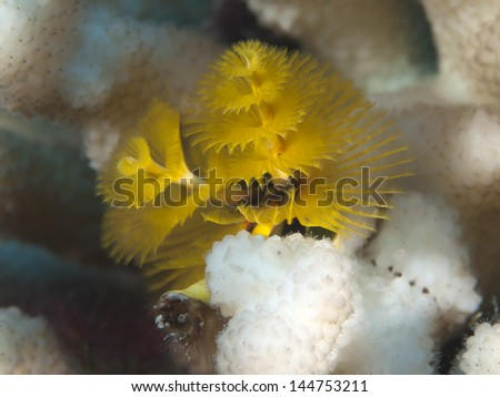 Christmas tree worms in red sea - stock photo