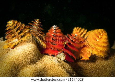 Christmas tree worms on reef - stock photo